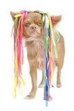 Chihuahua con stile di capelli eccentrico immagini stock