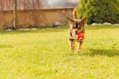 Chihuahua corriente Fotos de archivo libres de regalías
