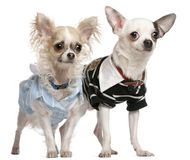 Chihuahua couple dressed up, 1 year old Stock Photo