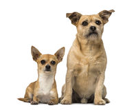Chihuahua and Cross breed Stock Photo