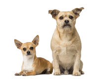 Chihuahua and Cross breed Royalty Free Stock Photos