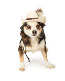 Chihuahua Cross in Cowboy Hat Royalty Free Stock Photo