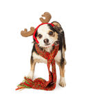 Chihuahua Cross Dog With Reindeer Antlers Stock Photography