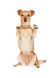 Chihuahua Crossbreed Begging With Paws Royalty Free Stock Image