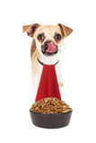 Chihuahua Crossbreed Dog Hungry For Bowl of Food Royalty Free Stock Images