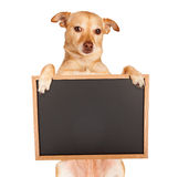 Chihuahua Crossbreed Holding Blank Chalkboard Royalty Free Stock Images