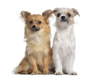 Chihuahua and Crossbreed, 8 months old, sitting Stock Images