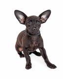 Chihuahua Crossbreed pies Z Dużymi ucho Zdjęcia Royalty Free