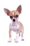 Chihuahua curiosa do filhote de cachorro Fotos de Stock Royalty Free