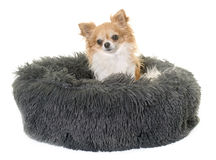 Chihuahua in cushion. Dog cushion and chihuahua in front of white background stock photos
