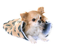 Chihuahua in cushion. In front of white background royalty free stock photography