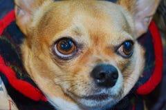 Chihuahua, cute face Royalty Free Stock Photo