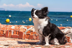 Chihuahua. Cute little dog that is in the sun against the wind Stock Photography