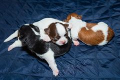 Chihuahua cute puppy 3 dogs,sleep mattress blue,pup. royalty free stock photography