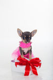 Chihuahua cute puppy is wearing pink dress Royalty Free Stock Image