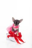 Chihuahua cute puppy is wearing pink fashion dress Stock Photo