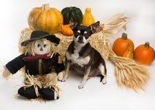 Chihuahua da colheita do outono Fotografia de Stock Royalty Free