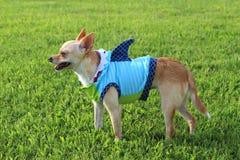 Chihuahua da semana do tubarão! Imagens de Stock Royalty Free