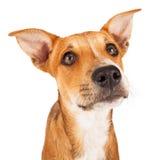 Chihuahua and Dachshund Crossbreed Stock Photo