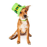 Chihuahua and Dachshund Crossbreed Royalty Free Stock Photo