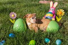 Chihuahua / Dachshund ready for easter Stock Photo
