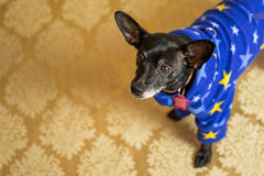 Chihuahua Dacshund mix Portrait. Photograph of a small dog in an animal rescue shelter Royalty Free Stock Photos