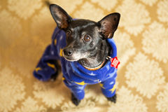 Chihuahua Dacshund mix Portrait. Photograph of a small dog in an animal rescue shelter Stock Image