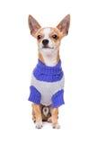 Chihuahua dai capelli corti Immagini Stock Libere da Diritti