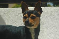 Chihuahua dai capelli corti liscia in bianco e nero di Brown fotografia stock