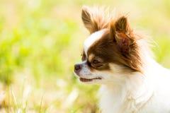 Chihuahua dai capelli lunghi Immagine Stock Libera da Diritti