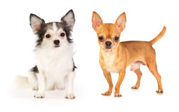 Chihuahua dai capelli lunghi e dai capelli corti Fotografia Stock Libera da Diritti