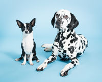 Chihuahua and Dalmatian. A Chihuahua and Dalmatian next to each other on a blue background royalty free stock photography