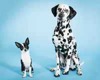 Chihuahua and Dalmatian. Sit together Stock Photo