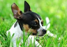 Chihuahua Daydreaming Fotografie Stock Libere da Diritti