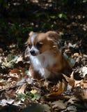 Chihuahua in de bladeren Stock Foto's