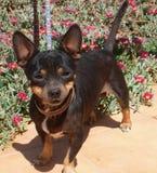 Chihuahua in de bloemen Royalty-vrije Stock Foto