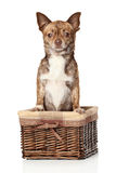 Chihuahua de Brown en cesta Fotografía de archivo libre de regalías