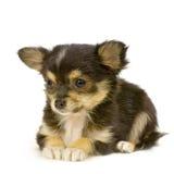 Chihuahua de cabelos compridos Foto de Stock