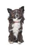 Chihuahua de cabelos compridos Imagens de Stock