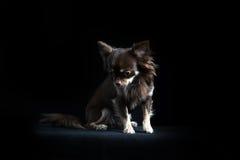 Chihuahua de cabelos compridos masculina no fundo preto Imagem de Stock