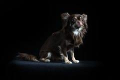 Chihuahua de cabelos compridos masculina no fundo preto Imagem de Stock Royalty Free