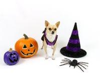 Chihuahua de Dia das Bruxas em um fundo branco Fotos de Stock