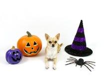 Chihuahua de Dia das Bruxas em um fundo branco Fotos de Stock Royalty Free