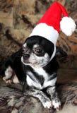 Chihuahua de la Navidad Imagen de archivo libre de regalías