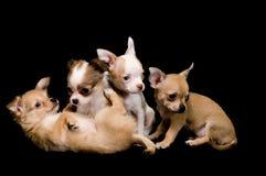 Chihuahua de los perritos Imagen de archivo