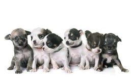 Chihuahua de los perritos en estudio Fotografía de archivo