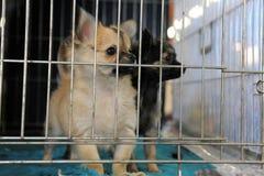 Chihuahua de los perritos en perrera Fotografía de archivo libre de regalías