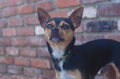 Chihuahua de pelo corto lisa blanco y negro de Brown fotografía de archivo