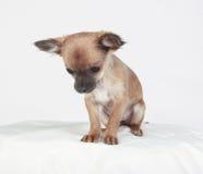 Chihuahua de pelo corto que mira abajo. Imagenes de archivo