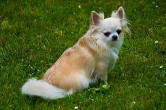 Chihuahua de pelo largo Imagen de archivo
